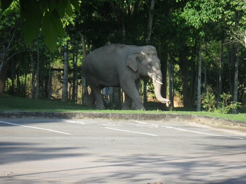 Frei lebender Elefant im Khao Yai Nationalpark