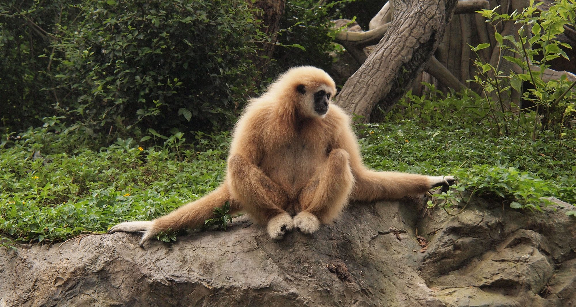 Gibbon in Chiang Mai (Foto: Wikimedia Commons, Ladislav Kral)